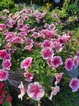 Um buquê de petúnias rosa closeup em um fundo natural no jardim
