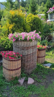 Um buquê de petúnias rosa closeup nas cestas em um fundo natural no jardim