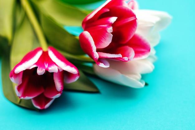 Um buquê de tulipas cor de rosa e brancas sobre um fundo azul. um lindo buquê festivo. postal de 8 de março e dia dos namorados.