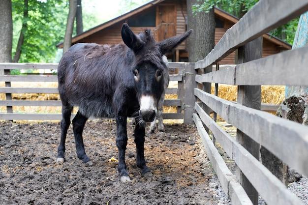 Um burro bonito perto da cerca. animal teimoso