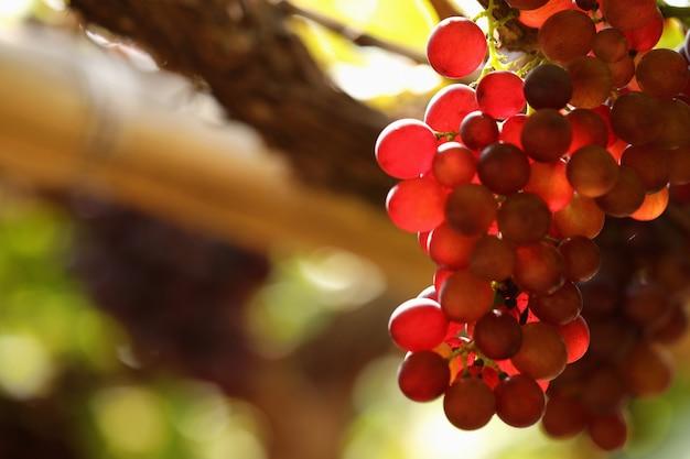 Um cacho de uvas roxas sob o sol da manhã