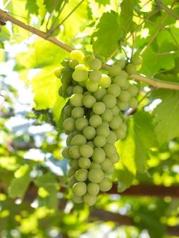 Um cacho de uvas verdes que crescem em uma videira