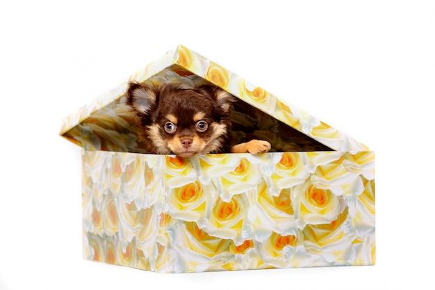Um cachorrinho chihuahua senta-se dentro de uma caixa de presente e olha.