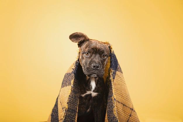 Um cachorrinho de 3 meses coberto com um cobertor de lã isolado em um fundo amarelo