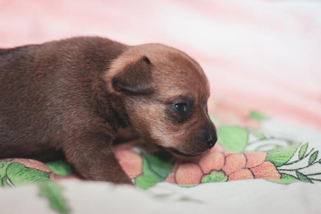 Um cachorrinho de terrier toy caminha ao longo do tecido. casaco marrom. olhos abertos.