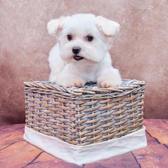 Um cachorrinho maltês está deitado em uma cesta de vime, olhando para a câmera