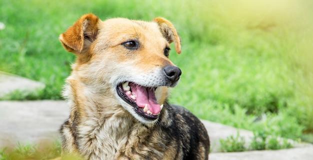 Um cachorrinho marrom com a boca aberta no parque