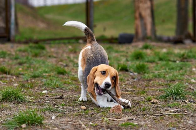 Um cachorro beagle brinca com uma vara de madeira em uma pose engraçada