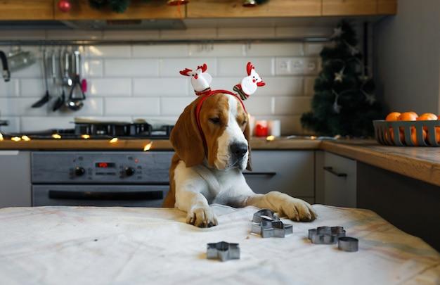 Um cachorro beagle com enfeites de natal na cabeça está de pé nas patas traseiras na cozinha, esperando por uma guloseima. natal para animais de estimação