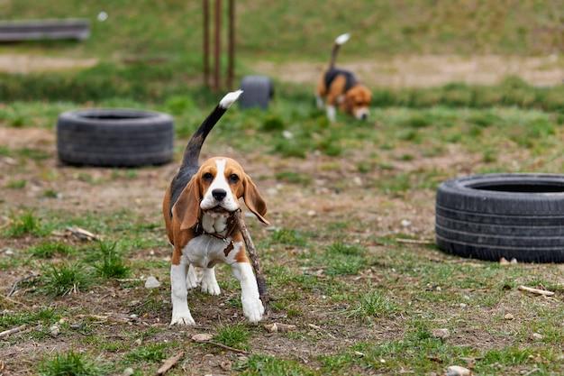 Um cachorro beagle corre com um brinquedo na rua no playground
