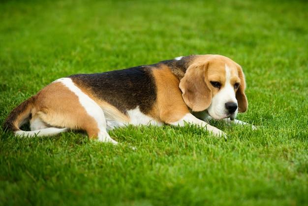 Um cachorro beagle deitado em uma grama verde
