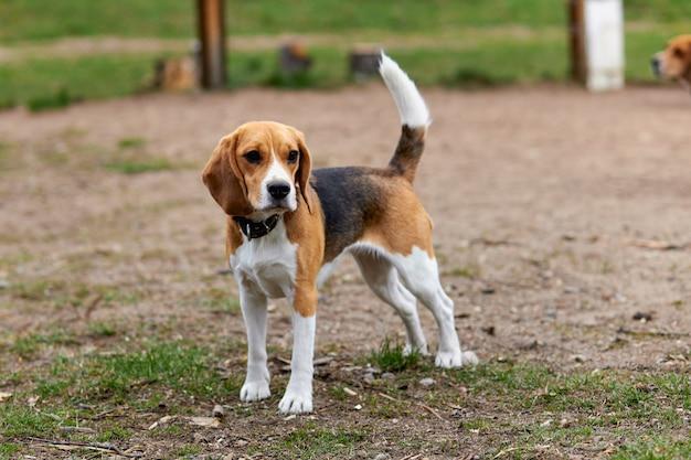 Um cachorro beagle em uma coleira com uma cauda levantada está parado na rua