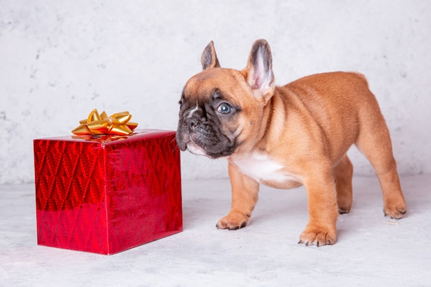 Um cachorro bulldog francês com um presente em um fundo cinza