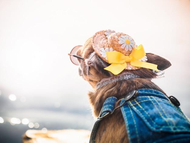 Um cachorro chihuahua elegantemente vestido fica na natureza, olha a água e goza de liberdade
