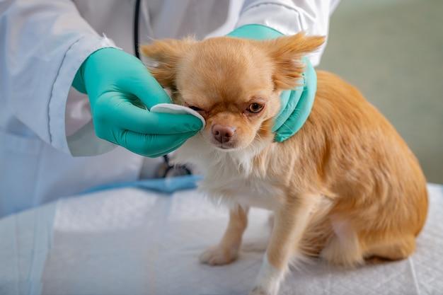 Um cachorro chihuahua ruivo no consultório do veterinário, tendo seu olho esfregado.