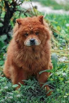 Um cachorro da raça chow-chow, de cor vermelha brilhante, senta-se na grama fresca