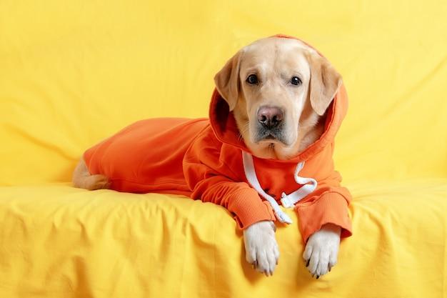 Um cachorro de moletom deitado em um sofá amarelo conceito de outono