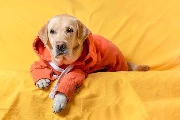 Um cachorro de moletom está deitado em um sofá amarelo. conceito de outono ou inverno.
