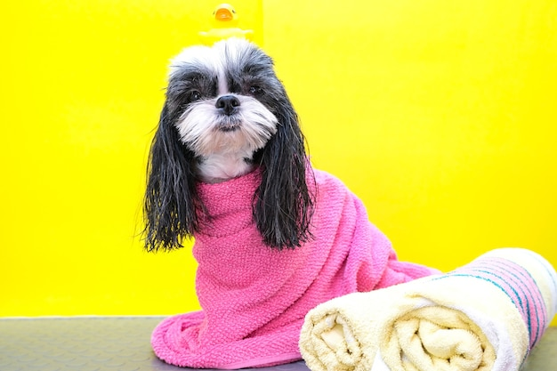 Um cachorro em um salão de beleza; cão após o banho, enrolado em uma toalha. animal de estimação recebe tratamentos de beleza em um salão de beleza para cães. pato na cabeça. fundo amarelo
