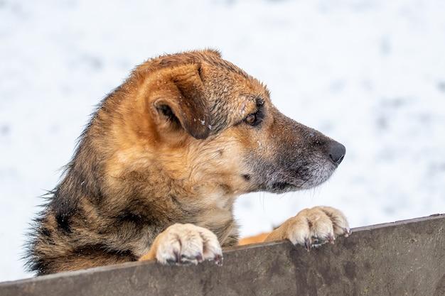 Um cachorro esperto olha por trás de uma cerca no inverno