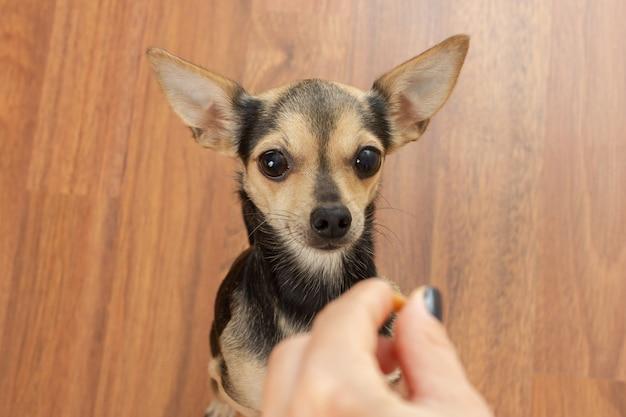 Um cachorro fofo que terrier pede comida. animal de estimação com fome e mão com comida.