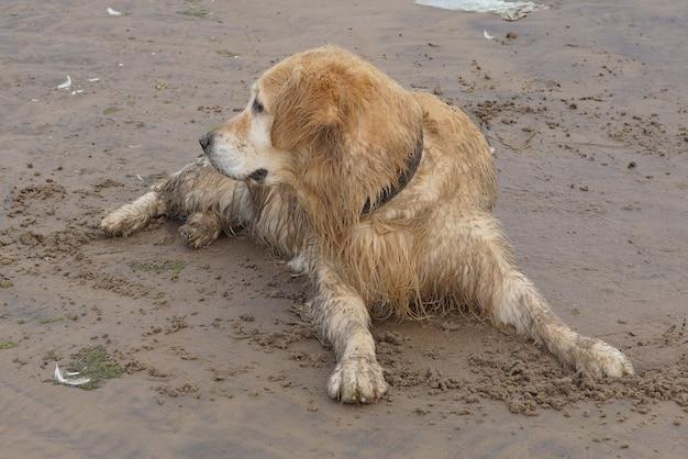 Um cachorro golden retriever descansava na areia após o banho e agora está molhado e sujo e olha para o lado.
