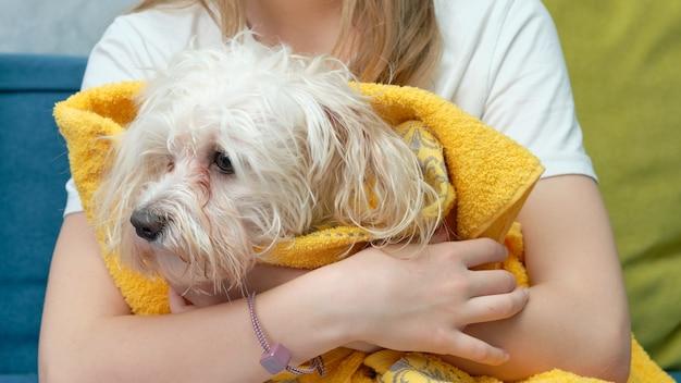 Um cachorro maltês molhado enrolado em uma toalha amarela nos braços de uma menina. cabeça de cachorro molhada