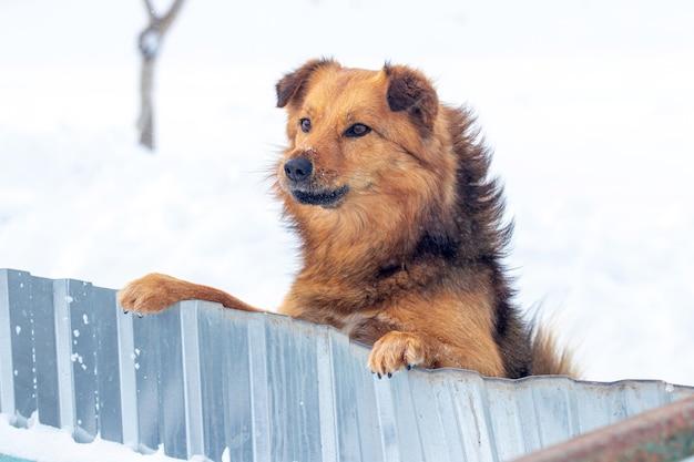 Um cachorro marrom fofo fica de pé nas patas traseiras e olha por trás de uma cerca no inverno