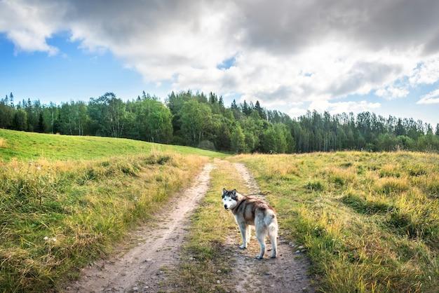Um cachorro na estrada através do prado da mãe de deus na ilha anzer