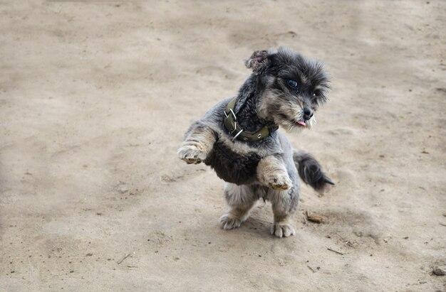 Um cachorro preto brincalhão fica de pé nas patas traseiras. brincando com animais de estimação. cuidado e educação.