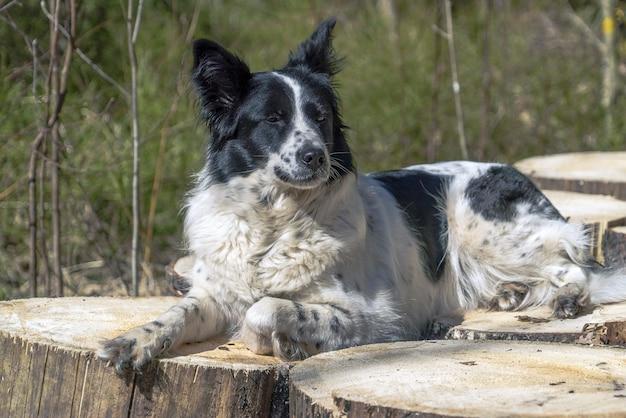 Um cachorro preto e branco está deitado com a pata enfiada em pedaços de tocos de madeira.