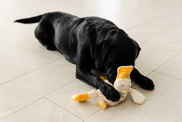 Um cachorro preto está deitado no chão e segurando um brinquedo nos dentes