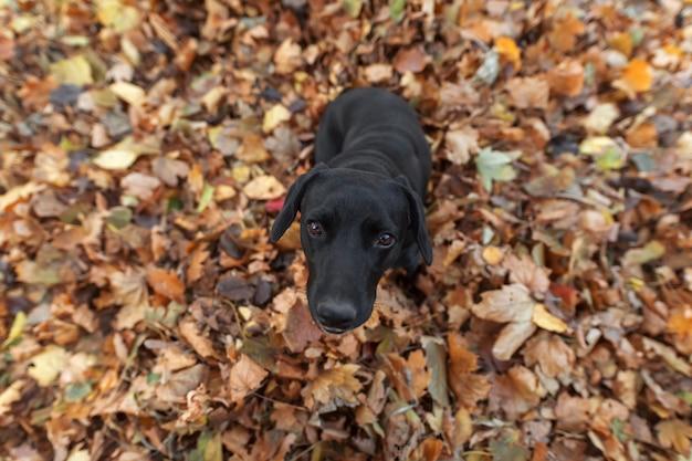 Um cachorro preto senta-se nas folhas no outono e olha para a câmera