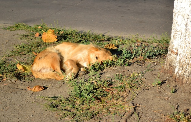 Um cachorro vira-lata com cabelo ruivo e dourado encontra-se no chão perto da árvore em uma manhã ensolarada.