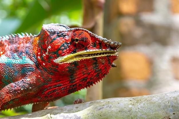 Um camaleão colorido em um galho de um parque nacional na ilha de madagascar