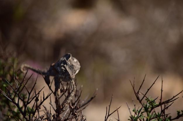 Um camaleão mediterrâneo aquecendo-se e caminhando na vegetação de garigue em malta.