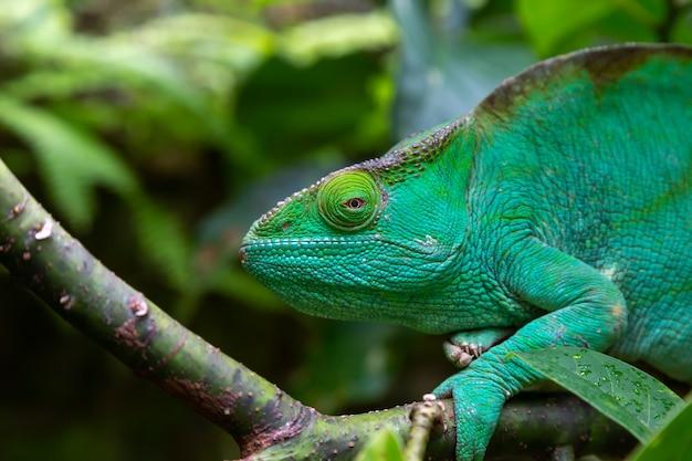 Um camaleão verde em um galho em close-up