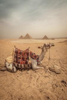 Um camelo com fundo de pirâmides em gizé