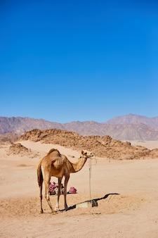 Um camelo fica em uma terra deserta com o céu azul ao fundo.