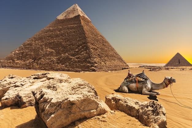 Um camelo perto da pirâmide de quéfren, gizé, egito.