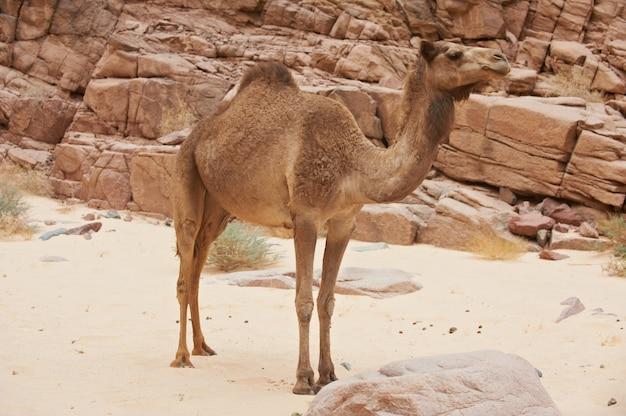 Um camelo selvagem no deserto do sinai
