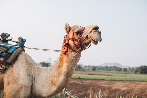 Um camelo sorri no deserto