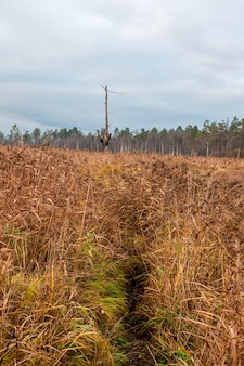 Um caminho através da grama amarela até uma árvore solitária queimada por um raio. pântano no norte no outono.