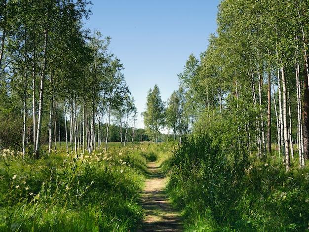 Um caminho sombrio de bétula na floresta em um dia ensolarado de verão brilhante