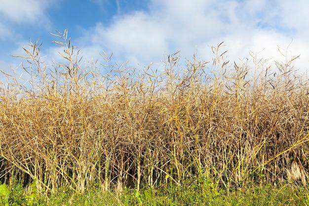 Um campo agrícola comum antes da colheita da colza para alimentação