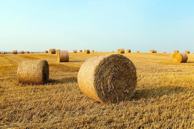Um campo agrícola em que se encontram palheiros de feno após a colheita, uma pequena profundidade de campo