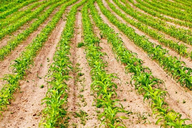 Um campo agrícola no qual cresce milho