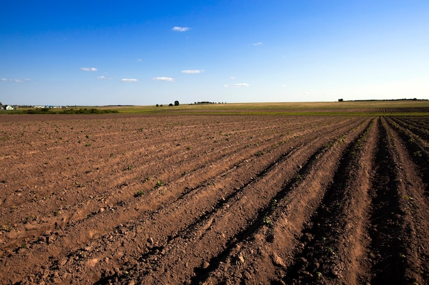Um campo agrícola no qual crescem batatas