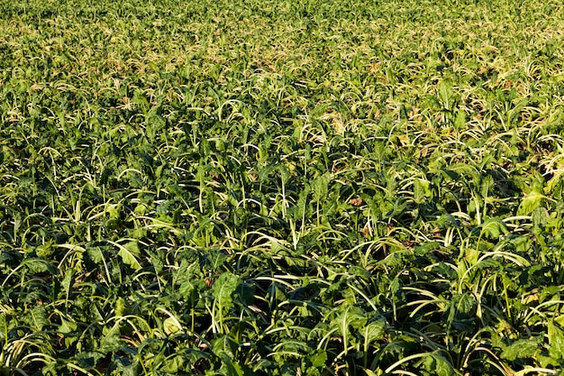 Um campo agrícola onde a beterraba açucareira seca devido à falta de chuva e irrigação
