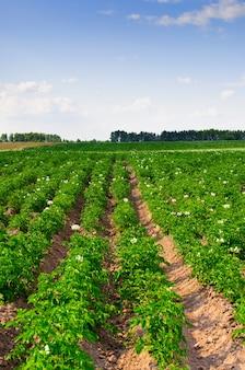 Um campo com flor de batata em um fundo de céu azul.